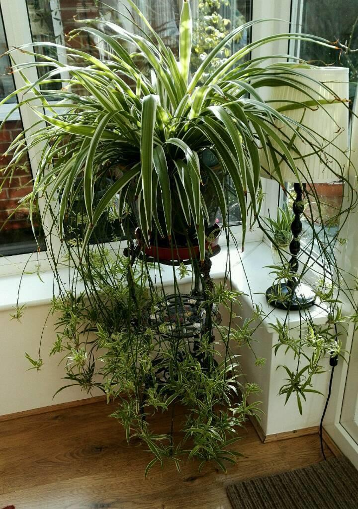 8/small>What does a spider plant do?