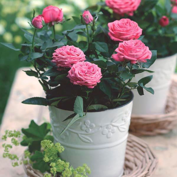 Do you know about miniature roses?