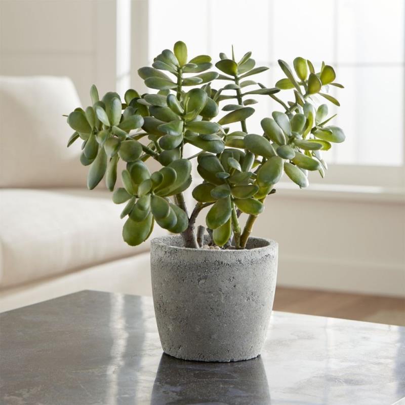 Jade plant is very helpful