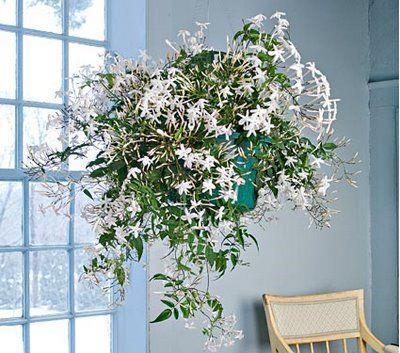 Jasmines are fantastic