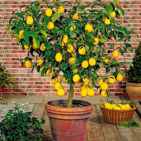 The lemon tree is pretty
