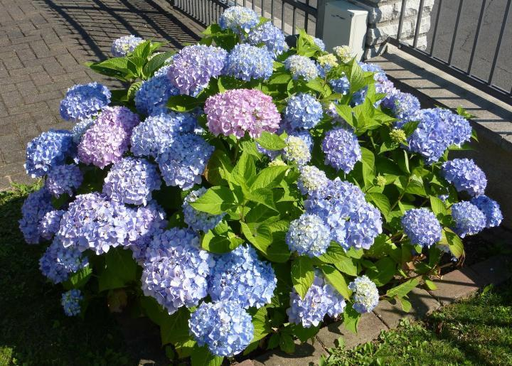 As a Hydrangea lover, you are more social minded