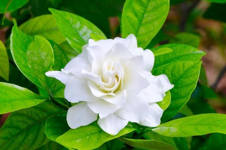 Gardenia lovers are high maintenance