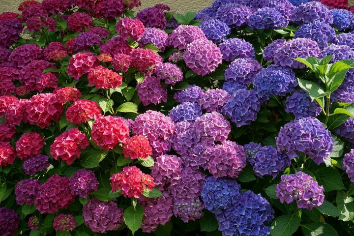 Hydrangea lovers are team players