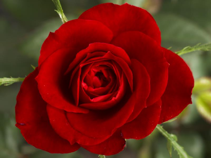 Rose lovers are sophisticated—and a touch prickly