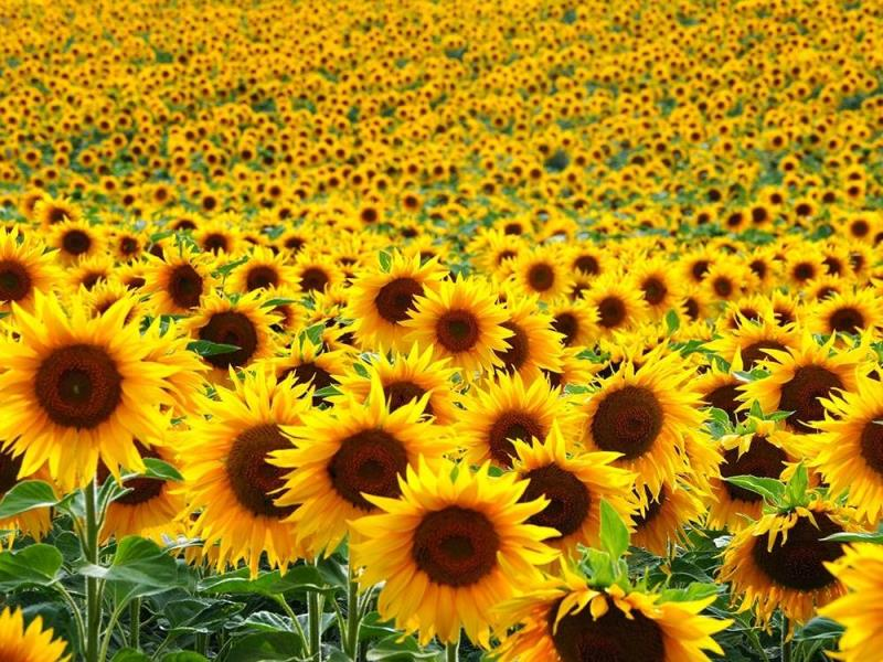 Sunflower lovers are optimistic